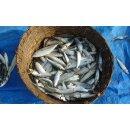 Food-United Fisch - SARDINEN MARINIERT WEISSWEIN 4x 115g mit Kräutern